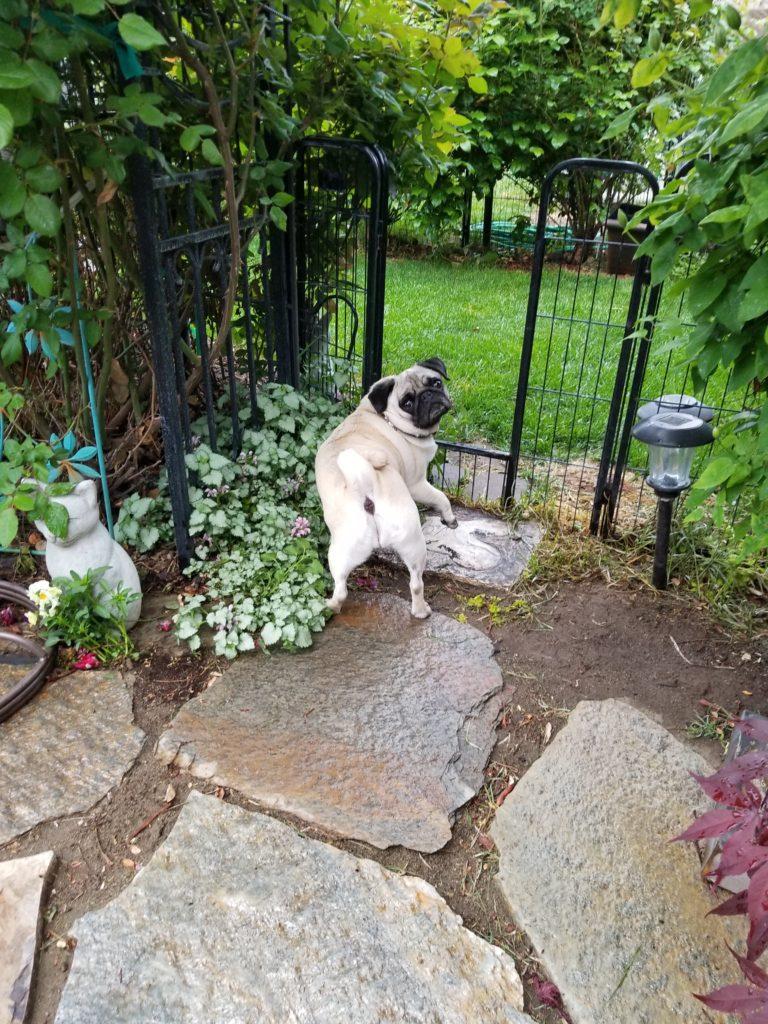 Garden Pug